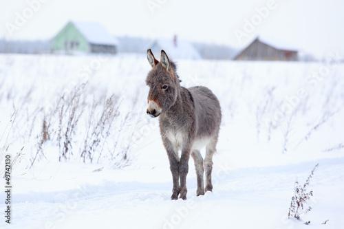 Grey donkey in winter field