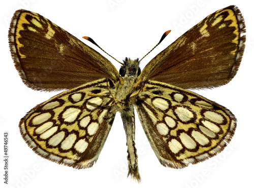 Fotografie, Obraz  Isolated Large Chequered Skipper butterfly