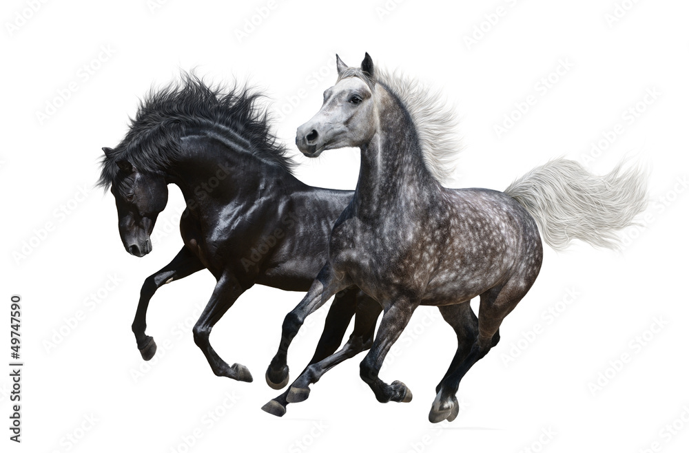 Fototapety, obrazy: Two horses gallop on white background