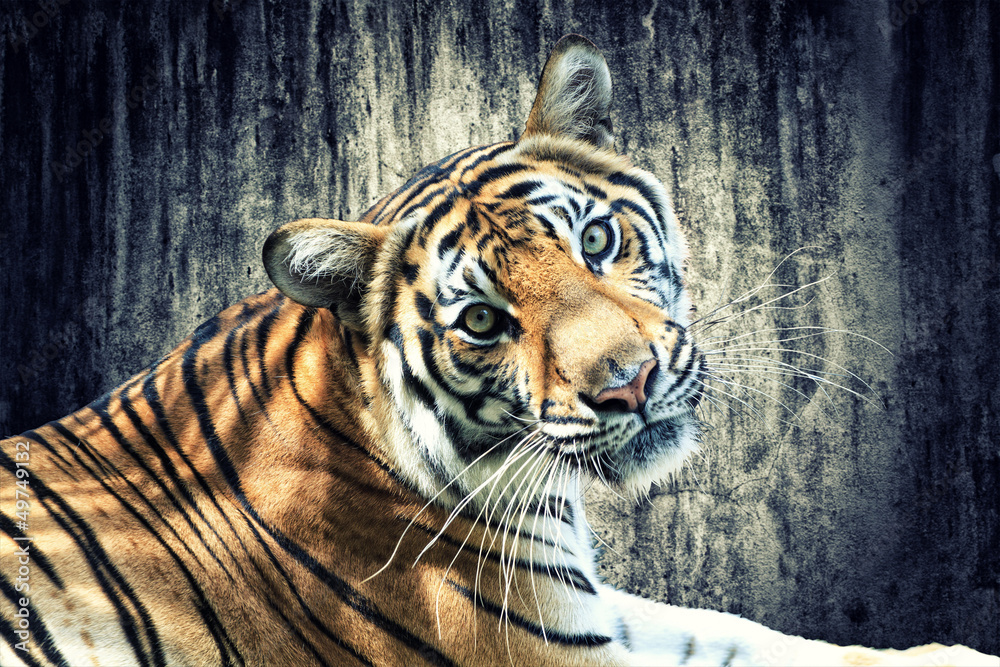 Fototapety, obrazy: Tiger against grunge wall