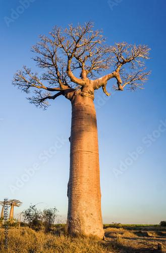 Poster Baobab Sunset on baobab trees