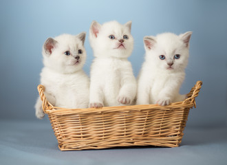 Fototapeta Do gabinetu weterynaryjnego three white British kittens in basket
