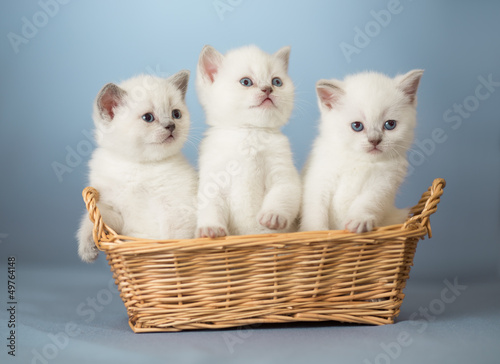 three white British kittens in basket - 49764148