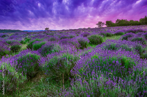 Poster Prune Sunset over a summer lavender field in Tihany, Hungary