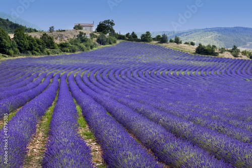 Photo  Endless rows in lavender field (Provence,France)