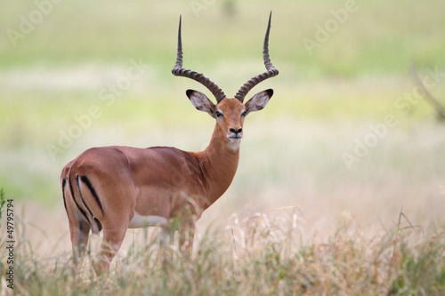 Frontal view of impala antelope