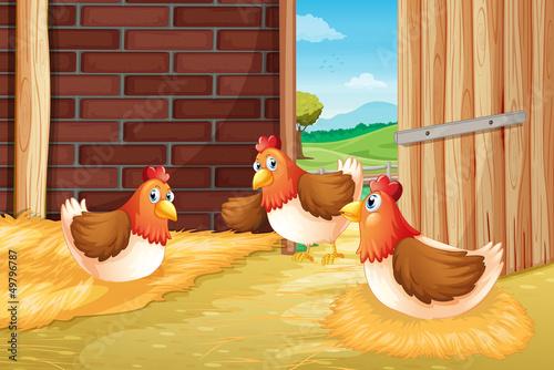 Spoed Foto op Canvas Boerderij Three chickens nesting