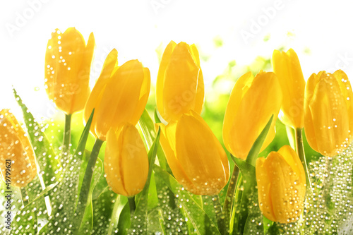 Yellow tulips - 49799621