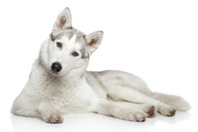 Siberian Husky Dog On White Background