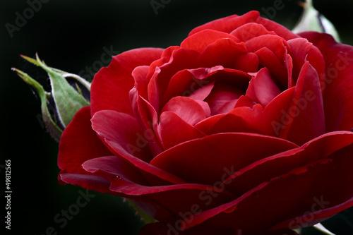 makro-czerwona-roza-z-paczkiem