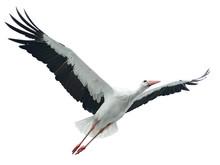 Flying Stork Isolated On White...