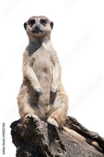 Obraz na plátně Portrait of a meerkat