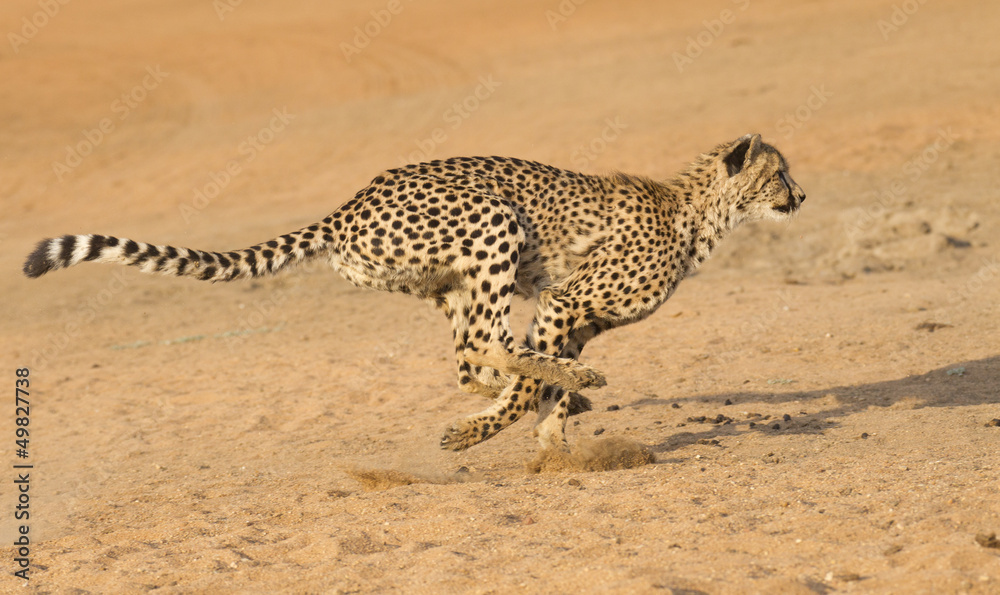 Cheetah running, (Acinonyx jubatus), South Africa