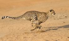 Cheetah Running, (Acinonyx Jubatus), South Africa