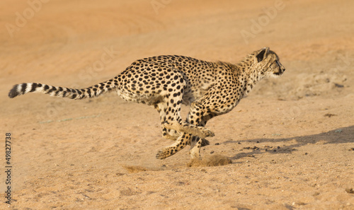 Photographie Cheetah running, (Acinonyx jubatus), South Africa