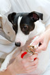 Close up view of jack russell terrier manicure