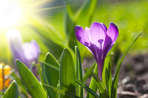Photo sur Aluminium Crocus Spring crocus