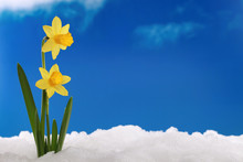 Frühling Winter: Narzissen Im Schnee