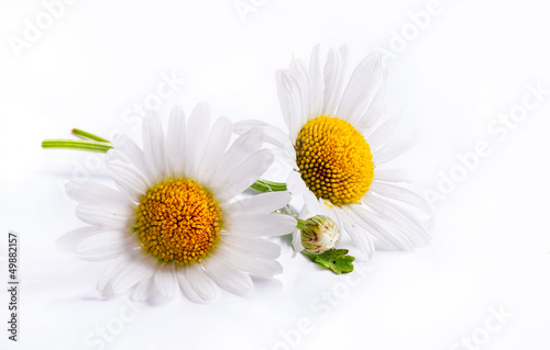 Foto-Duschvorhang - art daisies spring white flower isolated on white background (von Konstiantyn)