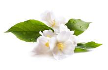 Jasmine White Flower Isolated ...