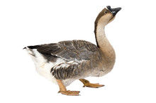 Chinese Goose Standing On Whit...