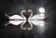 Romantic Swan During Valentine...