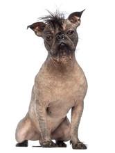 Hairless Mixed-breed Dog