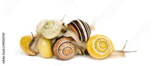 Pile of Grove snails or brown-lipped snails, Cepaea nemoralis
