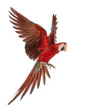 Green-winged Macaw, Ara Chloro...