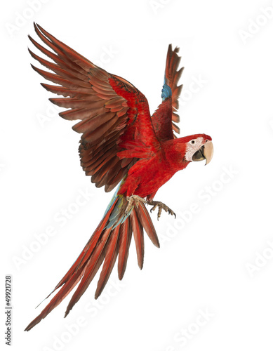 Poster de jardin Perroquets Green-winged Macaw, Ara chloropterus, 1 year old, flying