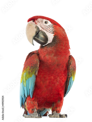 Green-winged Macaw, Ara chloropterus, 1 year old Canvas Print