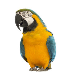 Blue-and-yellow Macaw, Ara ararauna, 30 years old