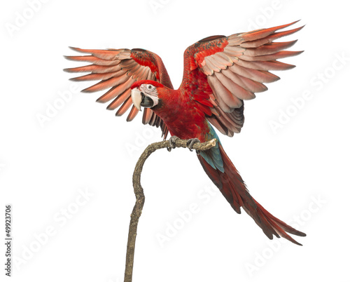 Green-winged Macaw, Ara chloropterus, 1 year old, perched Canvas Print