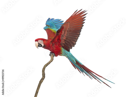 Photo  Green-winged Macaw, Ara chloropterus, 1 year old