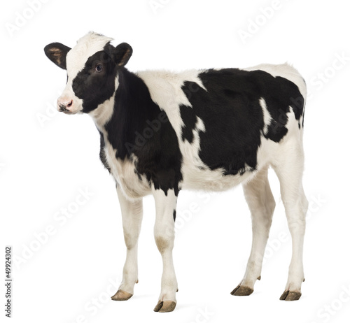 Calf, 8 months old, looking away in front of white background Fototapet