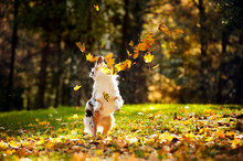 Young Australian Shepherd Play...