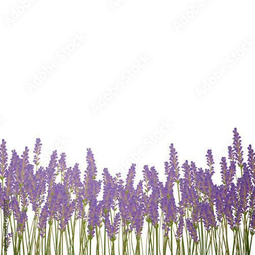 Vector Illustration of a Lavender Background