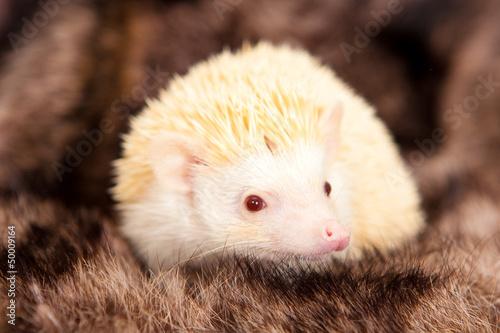 Fotografie, Obraz  hedgehog albino