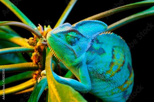 Foto op Plexiglas Kameleon One Yemen chameleon