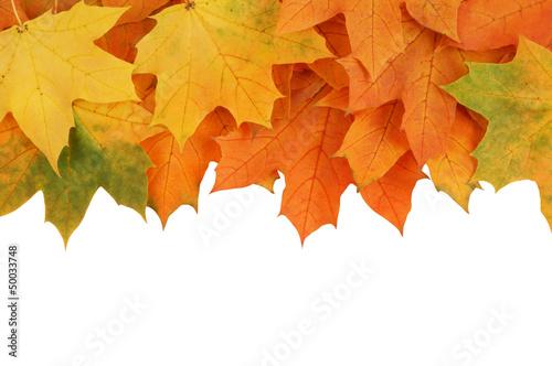 Fototapeta Maple leaves isolated on white obraz na płótnie