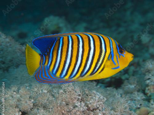 Fototapety, obrazy: Regal angelfish