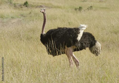 Deurstickers Struisvogel Autruche d'Afrique, male, Struthio camelus, Afrique de l'Est