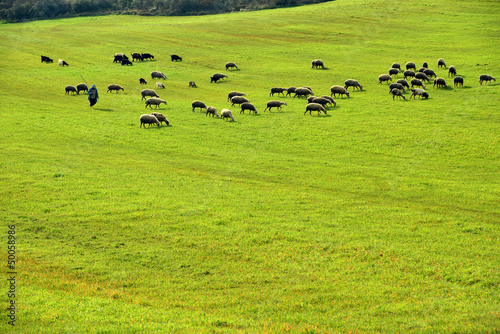 Photo sur Toile Vache Sheep Grazing shepherd and extensive pasture