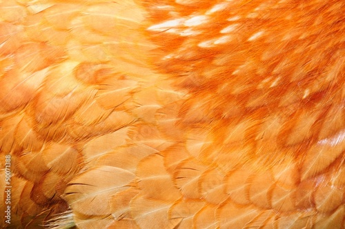 Red Chicken Feathers Close-Up