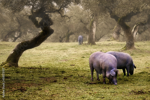 Foto  Iberian pig in the meadow