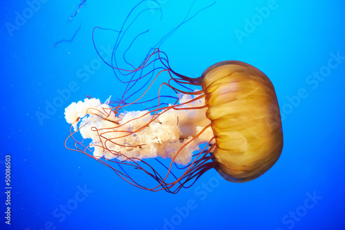 Fotografie, Obraz  Orange jellyfish (Chrysaora fuscescens)