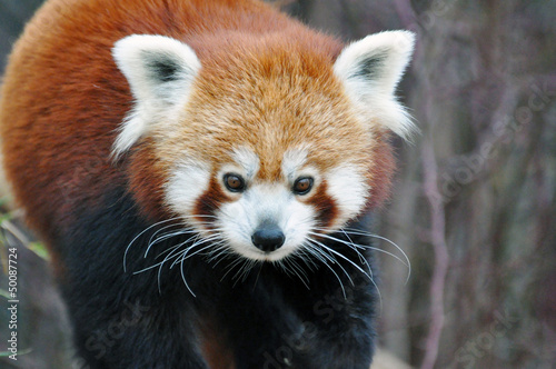 Kleiner Panda, Red Panda Wallpaper Mural