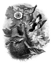 Birds : Oriole Of Baltimore - Tisserand