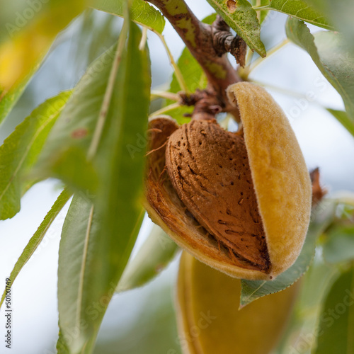 Foto Almonds on the branch