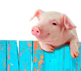 Funny pig hanging on a fence. Isolated on white background.